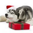 Merry christmas husky - Photo