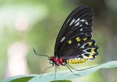 Cattle heart butterfly on leaf — Stock Photo