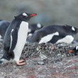 Gentoo penguin standing on the rocks — Stock Photo #14086628