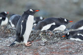 Gentoo penguin standing on the rocks — Stock Photo