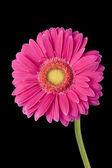 Close up shot of a pink flower — Stock Photo