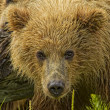 Bear portrait — Stock Photo #17162283