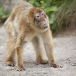 Stock Photo: Bewildered monkey