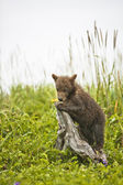 Bear cub playing with wood — Stock Photo