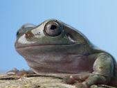 Frog studio shot — Stock Photo