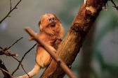 Golden lion tamarin on a tree branch — Stock Photo