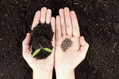Hands with plant and seeds — Stock Photo
