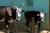 Veau et vache mère — Photo