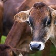 Stock Photo: Domestic cattle