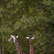 Giraffes feeding on leaves — Stock Photo