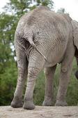 Elephant swinging its tail — Stock Photo