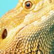 Macro shot of a bearded dragons head — Stock Photo