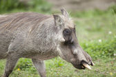 Mature warthog — Stock Photo
