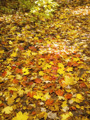 Maple leaves on ground — Stock Photo