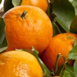 New harvest oranges — Stock Photo #18399767