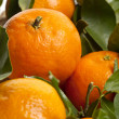 Stock Photo: New harvest oranges