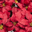Full frame image of poinsettia flowers - Lizenzfreies Foto