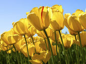 Filed of yellow tulips — Stock Photo