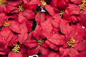 Full frame image of poinsettia flowers — Stock Photo