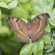 Stock Photo: Brown butterfly on plant
