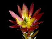 A red lotus flower — Stock Photo