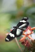 Black butterfly on flower — Stock Photo
