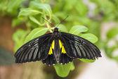 Black cattleheart butterfly — Stock Photo