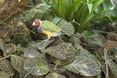 Gouldian finch — Stock Photo