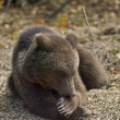 Stock Photo: Wild bear in romania