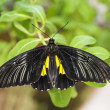 Black cattleheart butterfly - Stock Photo