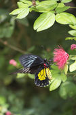 Cattle heart butterfly perching on pink flower — Stock Photo