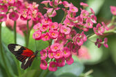Black butterfly on pink flower — Stock Photo