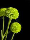 Chrysanthème vert — Photo