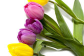 Colorful tulip flowers on white — Stock Photo