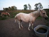 Exibição de cavalos domésticos — Foto Stock