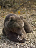 Wild bear in romania — Stock Photo