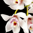 White cymbidium orchid flowers — Stock Photo