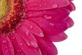Cropped image of wet daisy — Stock Photo