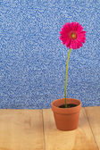 Pink daisy in flower pot — Stock Photo