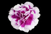Top view image of pink carnation — Stockfoto