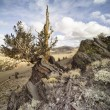 Stock Photo: 572 bristlecone pines (pinus longaeva)