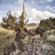 572 bristlecone pines (pinus longaeva) — Stock Photo #19227251