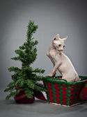 Climbing elf cat — Stock Photo