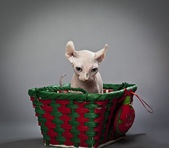 Elf cat in basket — Stock Photo