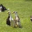 Stock Photo: Mallard duck playing on field