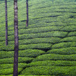 Rectangles of Tea Plants — Stock Photo