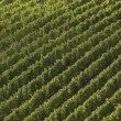 Aerial view on a vineyard in tuscany — Stock Photo