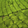 Tea field paths — Stock Photo