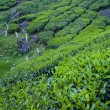 White Posts in Tea Field — Stock Photo #19453725