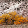 Yellow autumn trees from cottonwood canyon utah - Stock Photo